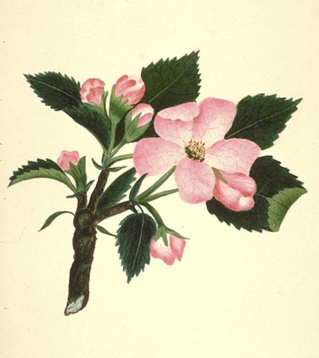 Fleurs de pommier - «Malus...»