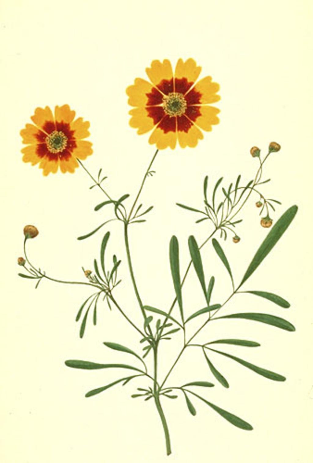 Coréopsis des teinturiers - «Coreopsis tinctoria»