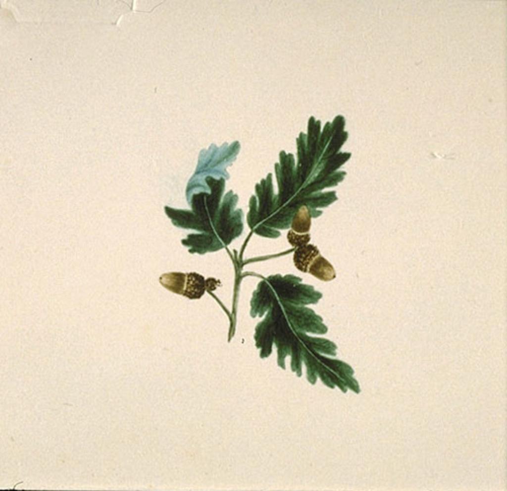 Feuilles de chêne et glands - «Quercus...»