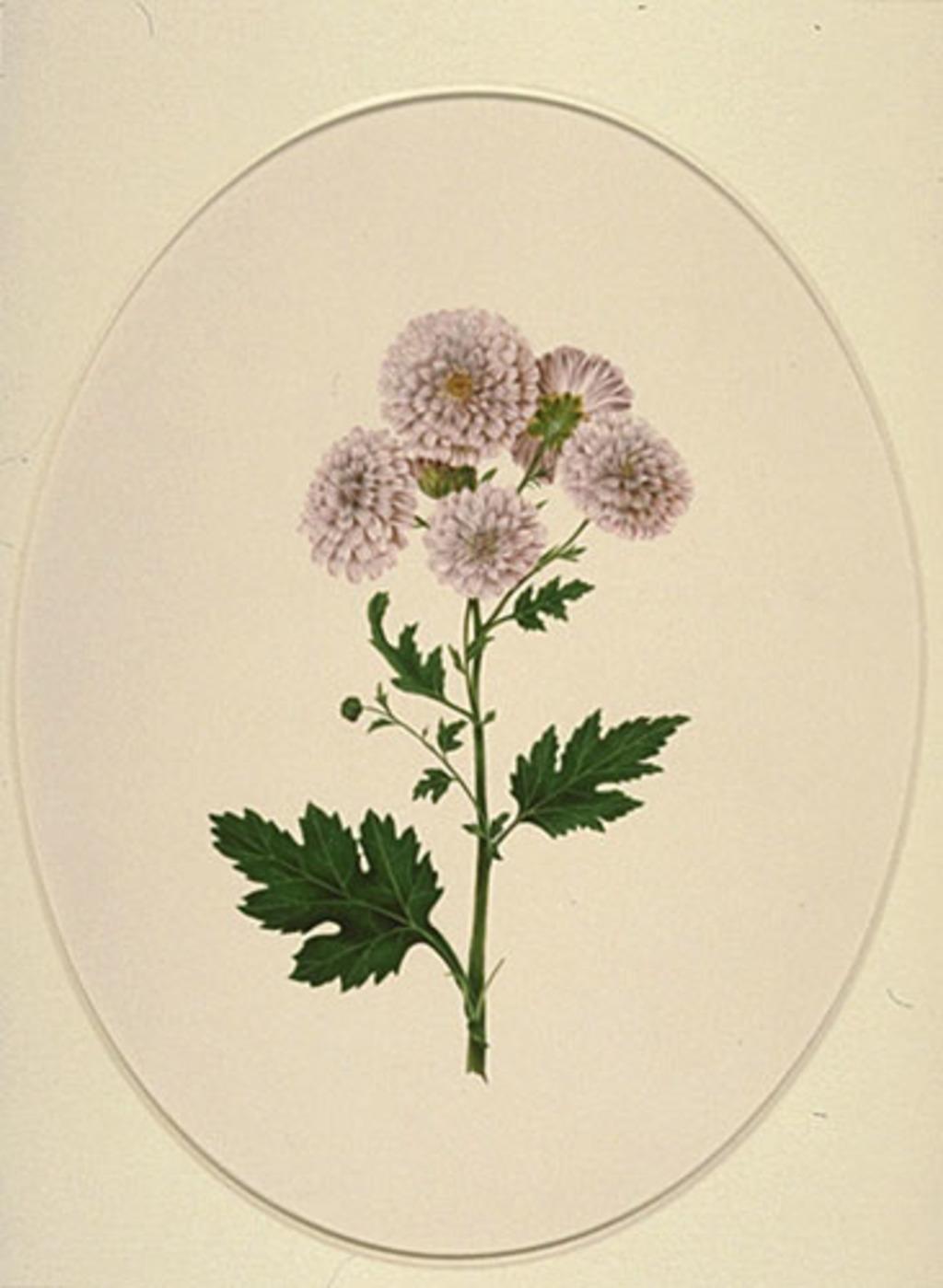 Chrysanthèmes des fleuristes - «Chrysanthemum X morifolium»