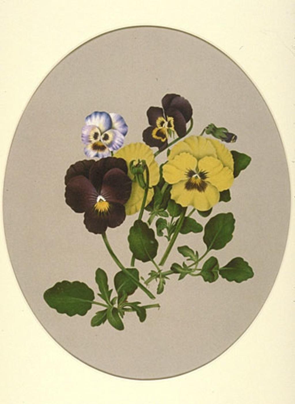 Pensées - «Viola X wittrochkiana»