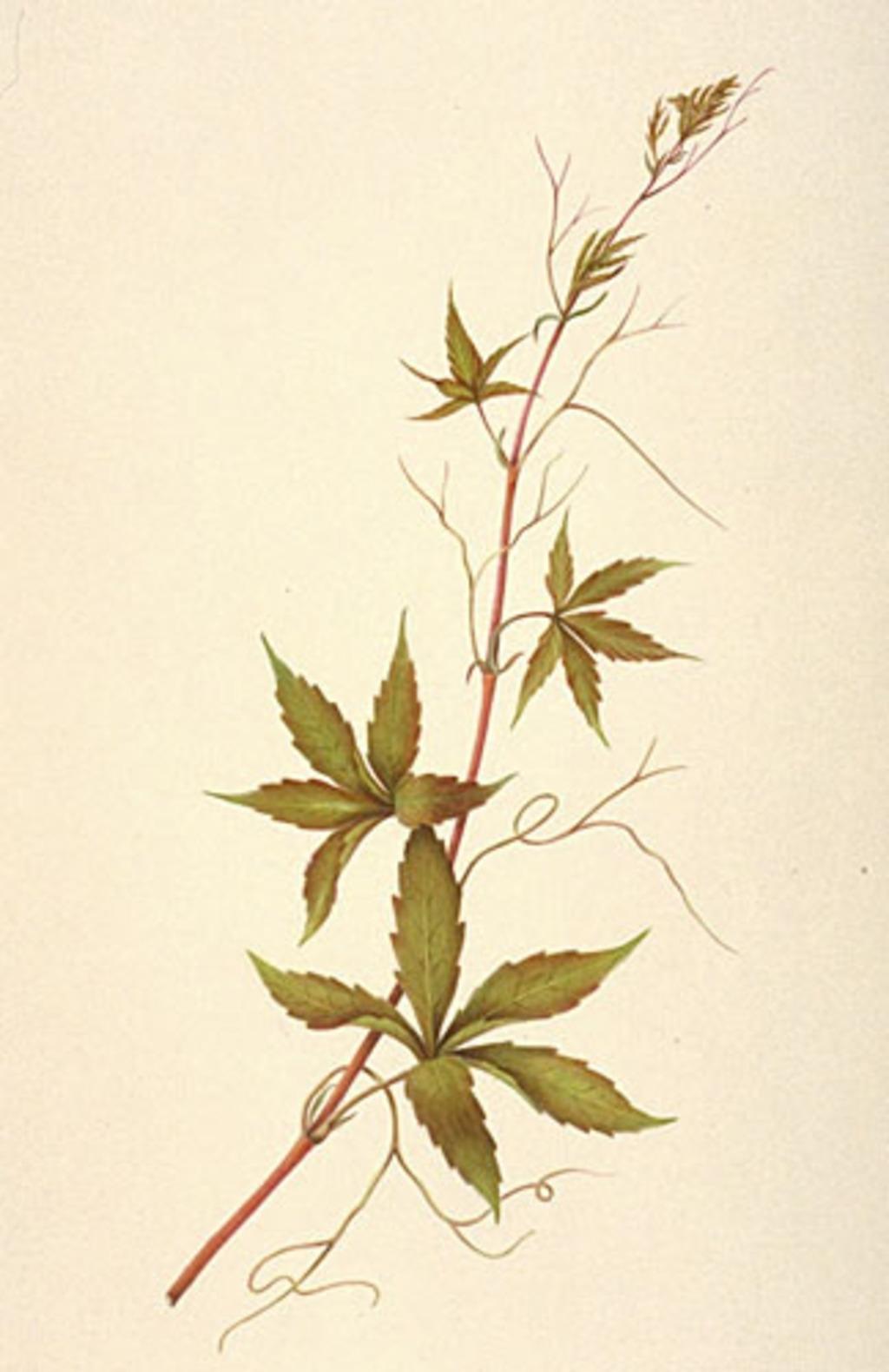 Parthénocisse à cinq folioles - «Parthenocissus quinquefolia»