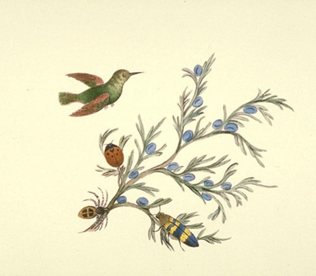 Colibri et branche de genévrier avec trois insectes