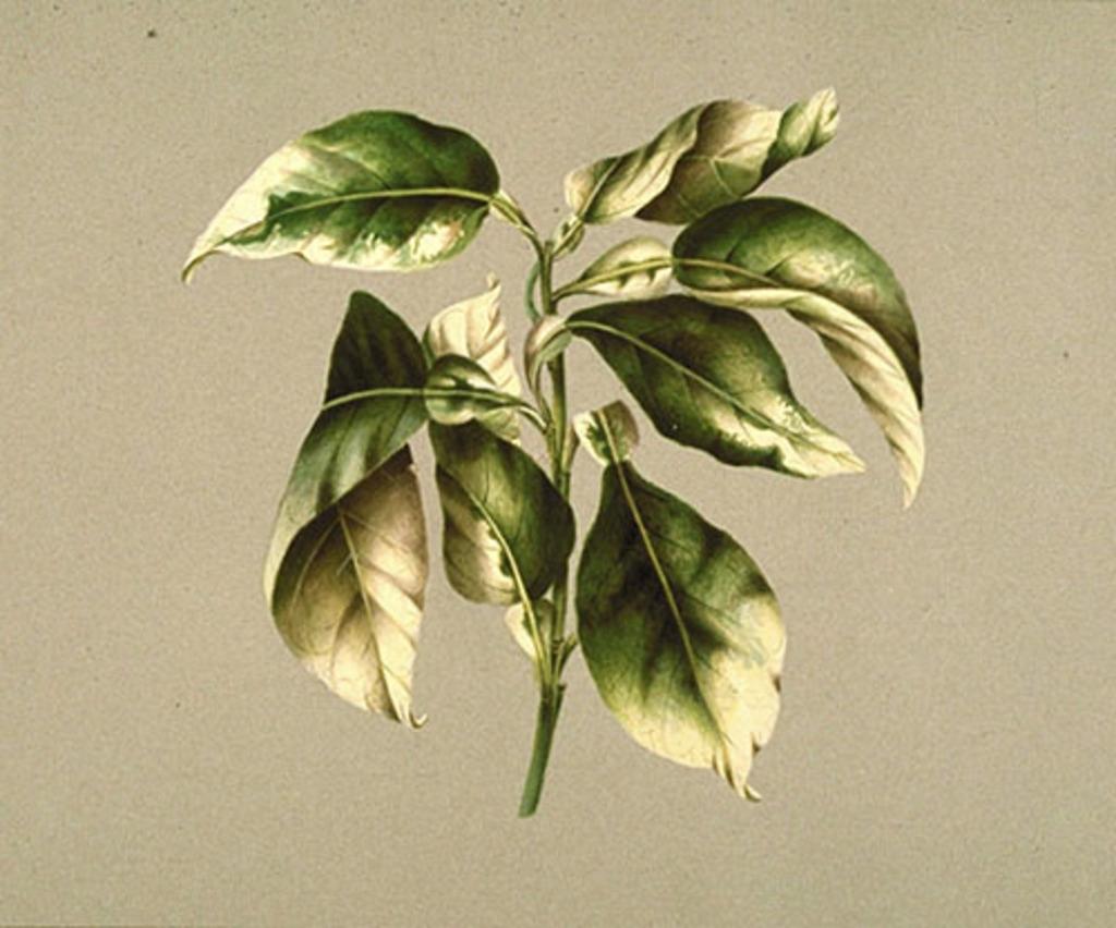 Lime - «Citrus aurantiifolia»