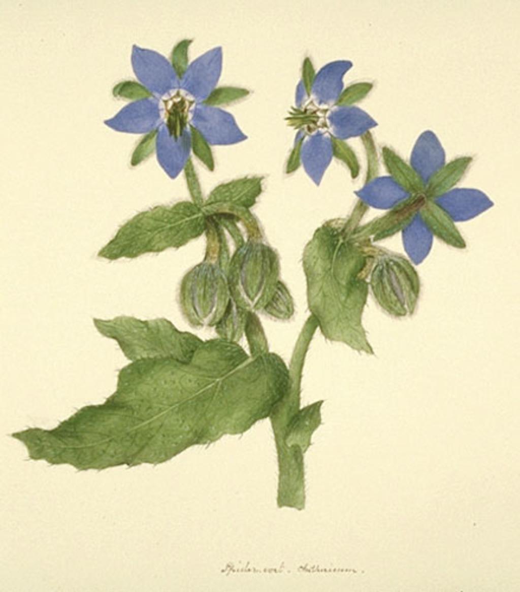 Bourrache - «Borago officinalis»