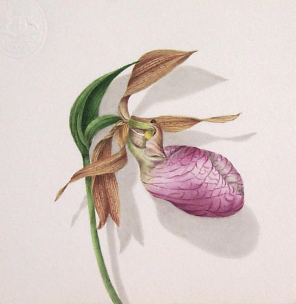 Cypripède acaule - «Cypripedium acaule»