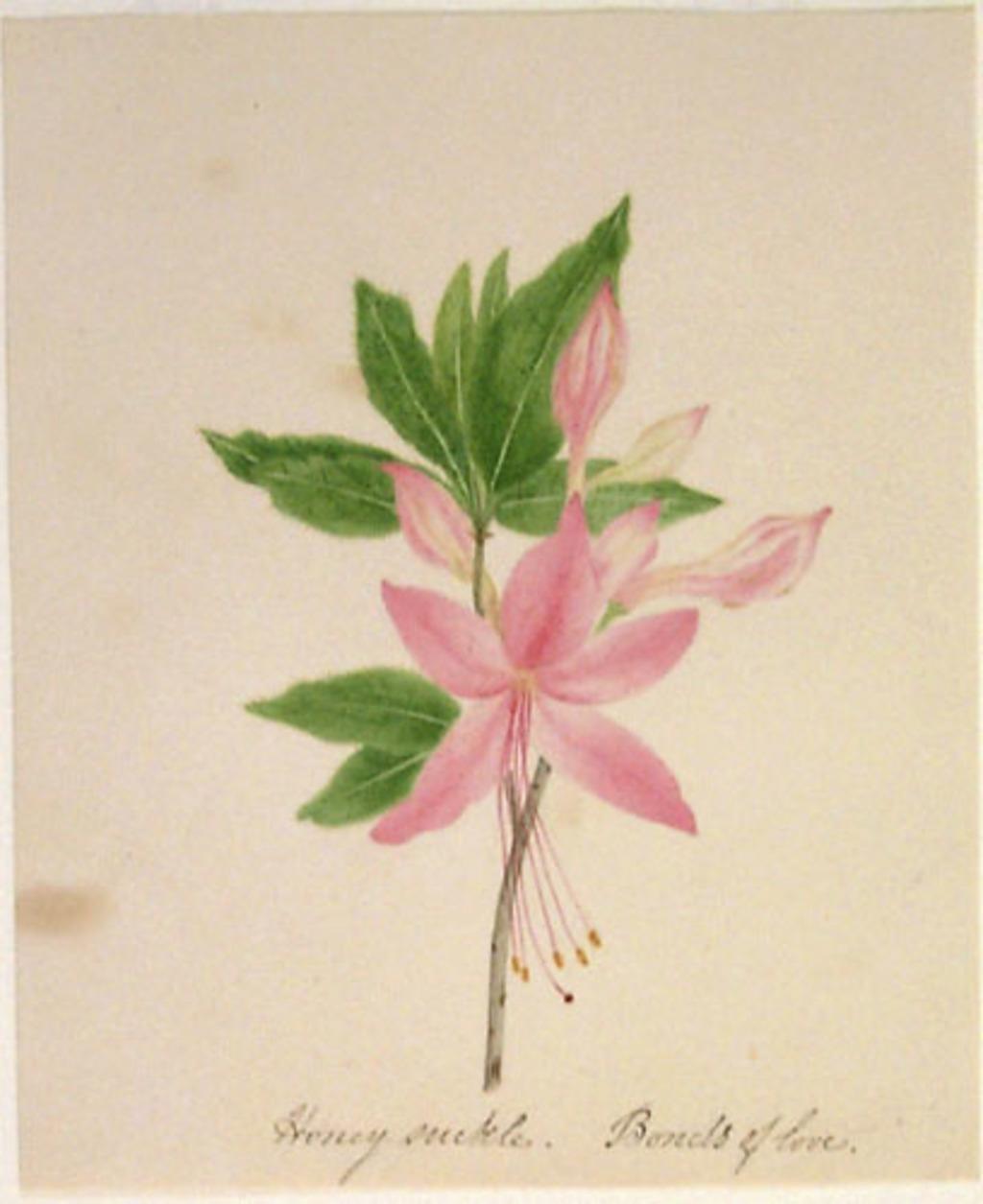 Rhododendron... - «Rhododendron (Azalea)»