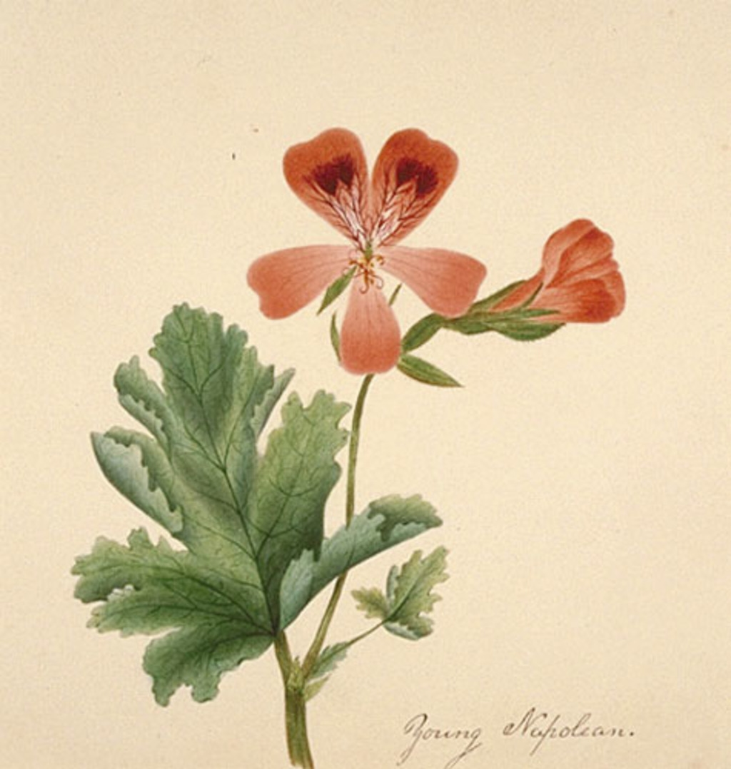Pélargonium des fleuristes - «Pelargonium X domesticum»