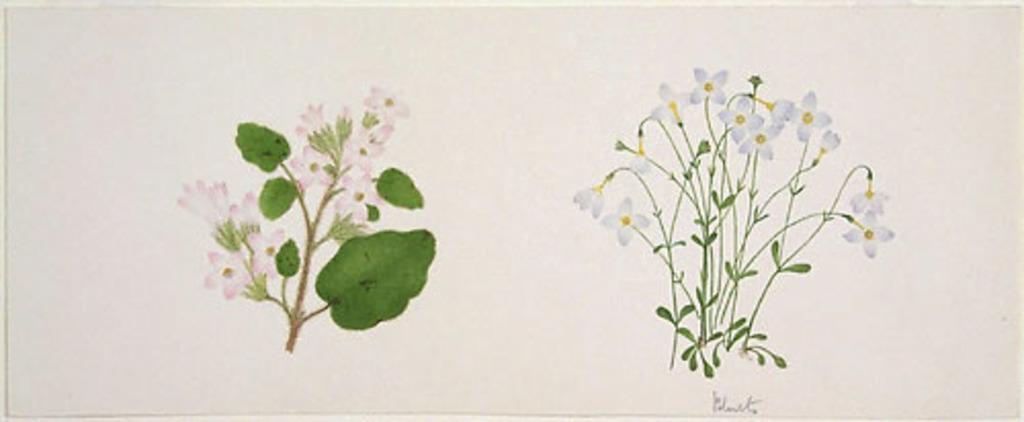 Épigée rampante - «Epigaea repens» et Houstonie bleue - «Houstonia caerulea»