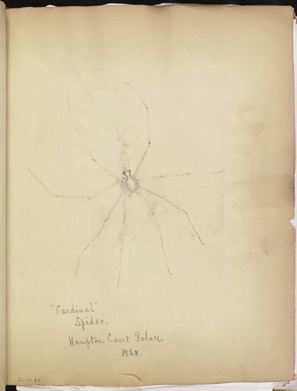 Araignée « Cardinal », étude de spécimen du Hampton Court Palace, de l'album du capitaine Frederick Stevenson