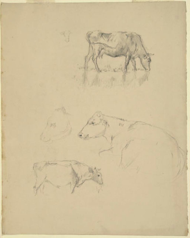Études de vaches