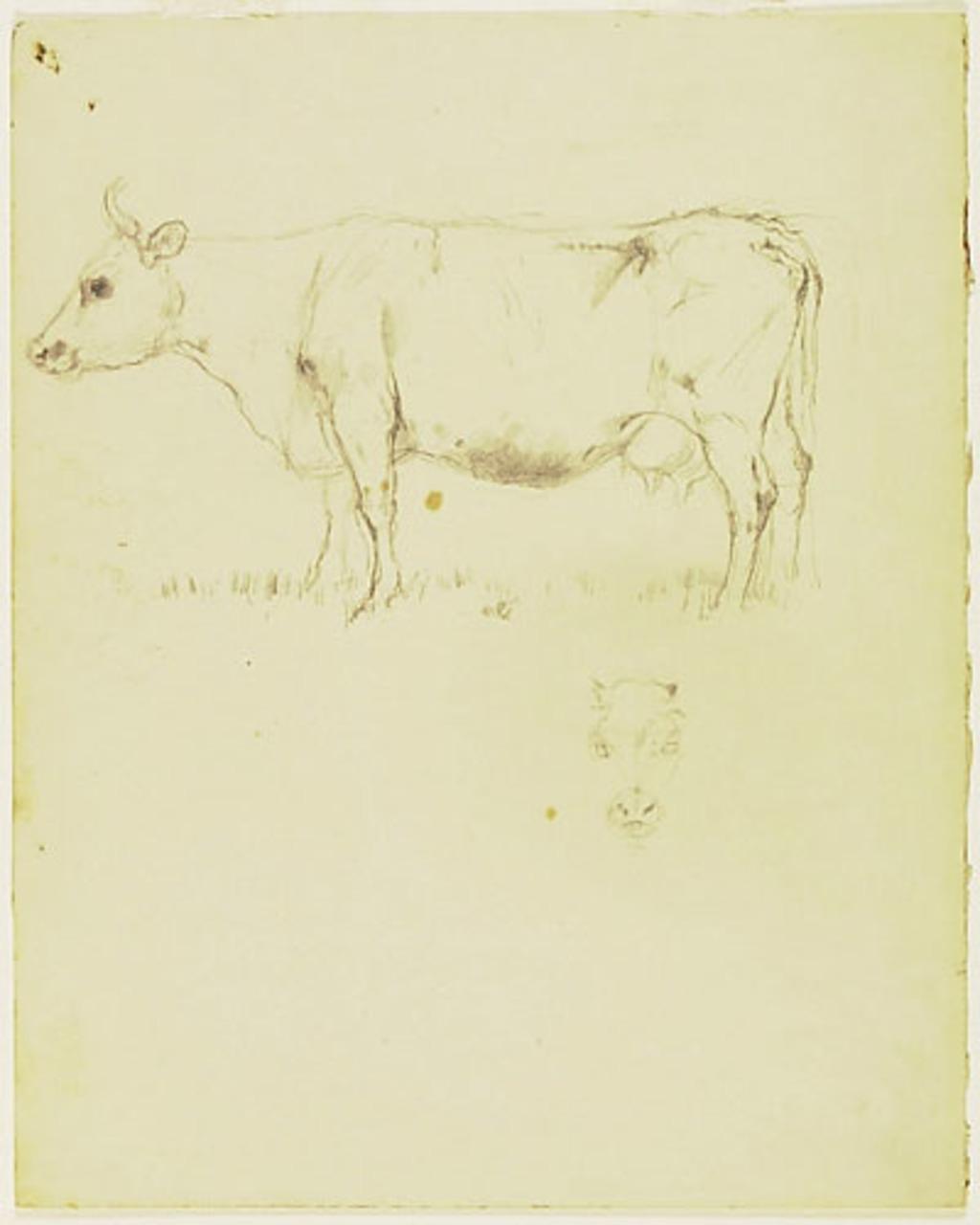 Étude de vaches