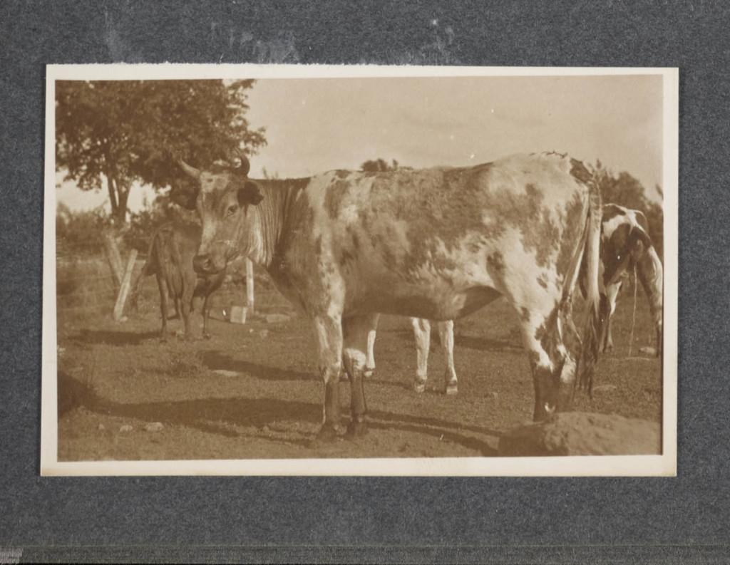 Vaches, Saint-Hilaire (?)